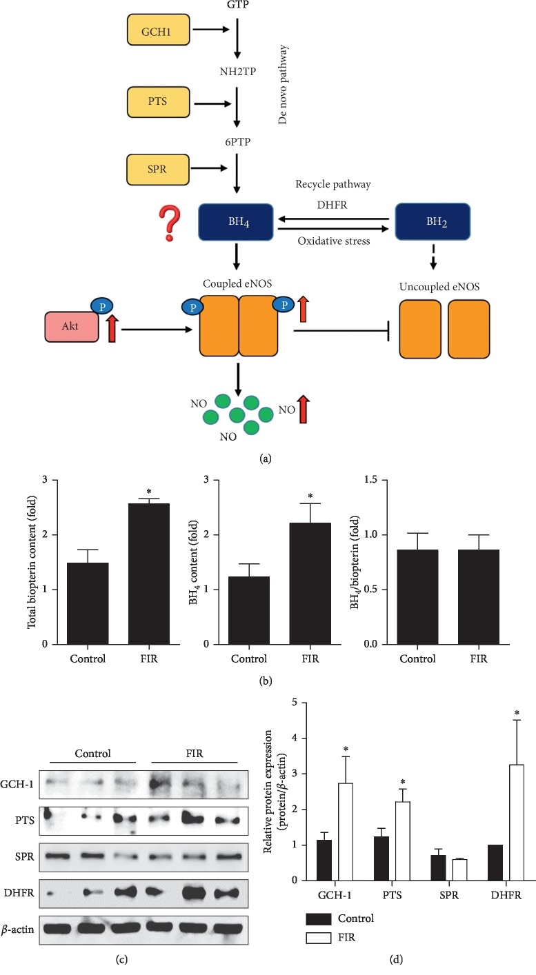 FIR radiation induces BH 4 synthesis in HUVECs. HUVECs were cultured with or without FIR-emitting sericite board for 48 hours. (a) Schematic model summarizing the mechanism of FIR-induced improvement of vascular function. (b) Intracellular levels of total biopterin and BH 4 . (c) The protein expression of GCH1, PTS, SPR, and DHFR. β -actin is shown as a loading control. (d) Protein levels were quantified by densitometric analysis. Data are shown as the mean ± SEM of three independent experiments. ∗ P