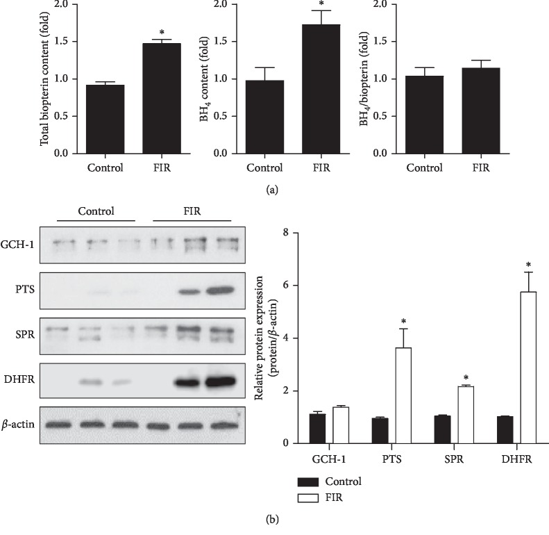 FIR radiation induces tetrahydrobiopterin (BH 4 ) synthesis in vivo. Rats were exposed with or without FIR-emitting sericite board for 7 days. (a) Lung endothelial cells were isolated from control and FIR group rats using CD31 and CD45 beads. Endothelial biopterin and BH 4 levels were quantified by HPLC analysis. (b) GCH1, <t>PTS,</t> SPR, and <t>DHFR</t> protein expression in aorta tissues. β -actin is shown as a loading control. Protein levels were quantified by densitometric analysis. Data are shown as the mean ± SEM of three independent experiments. ∗ P