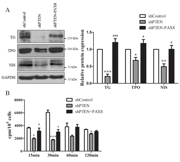 PTEN affects Nthy-Ori 3-1 cell function by regulating PAX8. (A) Expression of the thyroid-specific proteins TG, TPO and NIS in shControl, shPTEN and shPTEN+PAX8 groups of cells detected using western blot analysis. GAPDH served as an internal control. (B) Iodide uptake ability was measured at different times following the addition of 125 I. Data are presented as the mean ± standard error of mean from at least three different experiments. *P