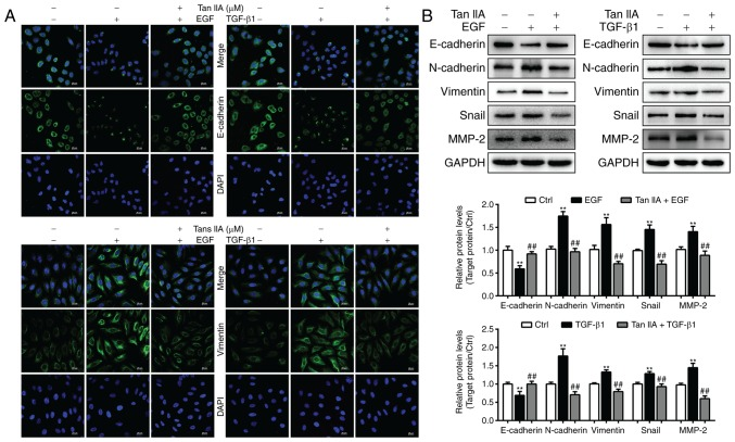 Tan IIA reverses EGF- and TGF-β1-induced EMT in HepG2 cells. (A) E-cadherin and vimentin expression in HepG2 cells was determined by confocal microscopy. Scale bars, 20 µm. (B) Expression of E-cadherin, MMP-2, N-cadherin, vimentin and Snail in HepG2 cells that were untreated or treated with 20 ng/ml EGF, 10 ng/ml TGF-β1 and 2 µM Tan IIA were analyzed via western blotting. **P