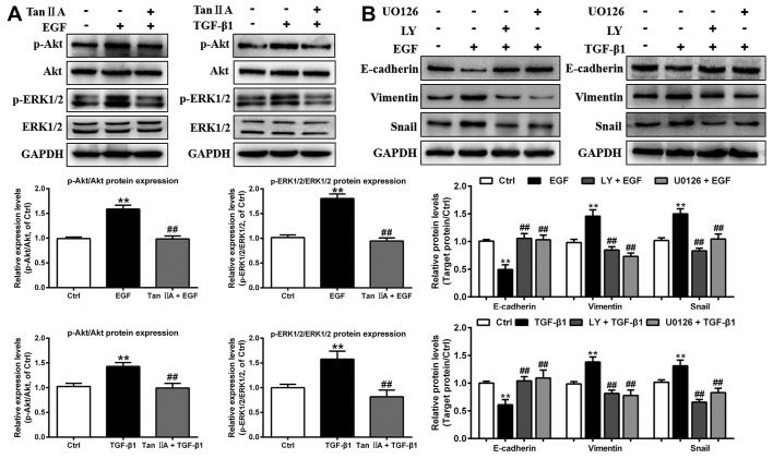 Tan IIA inhibits EMT by deactivating the PI3K/Akt/ERK signaling pathway in EGF- and TGF-β1-treated HepG2 cells. (A) Phosphorylation and expression of Akt and ERK1/2 in HepG2 cells that were untreated or treated with 20 ng/ml EGF, 10 ng/ml TGF-β1 and 2 µM Tan IIA were analyzed by western blotting. (B) Protein expression levels of E-cadherin, vimentin and Snail in HepG2 cells that were untreated or treated with 20 ng/ml EGF, 10 ng/ml TGF-β1, 20 µM LY, and 20 µM U0126 were analyzed by western blotting. **P