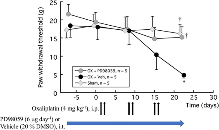 Inhibition of oxaliplatin-induced mechanical allodynia by ERK inhibitor PD98059. PD98059 (6 μg day -1 ) or vehicle (20% DMSO) was injected i.t. for 4 weeks using an osmotic pressure pump. One week after the pump placement, oxaliplatin (4 mg kg -1 ) or vehicle (5% glucose) was injected i.p. twice a week for 3 weeks. von Frey test was done before the pump placement, and before and 1 week after each oxaliplatin or vehicle treatment (days 1, 2, 8, 9, 15, and 16). We confirmed the incidence of mechanical allodynia on day 22 (day 28 from pump placement). The hindpaw data within each group were analyzed using one-way repeated measures ANOVA followed by Bonferroni post hoc analysis. Welch's test was used to compare between groups. All data are calculated as mean ± SEM of 5 animals. * P