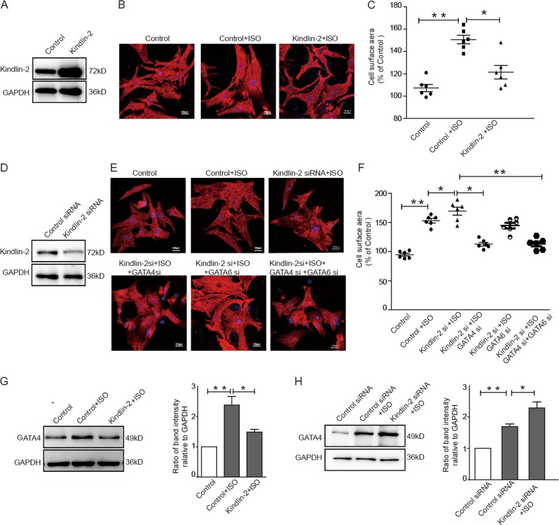 Kindlin-2 prevents cardiomyocytes from hypertrophy through suppressing GATA4. a–c Cardiomyocytes were infected with Kindlin-2 or control adenovirus plus ISO treatment (5 µm, 24 h). The efficacy of Kindlin-2 overexpression was detected by Western blot a . Representative images of cardiomyocytes stained with anti-α-actinin2 (Alexa Fluor 568) b . Cell surface areas were measured c . d – f Kindlin-2 siRNA was transfected into primary neonate rat cardiomyocytes plus ISO treatment with or without knockdown of GATA4 and GATA6 alone or in combination. The efficacy of Kindlin-2 siRNA was detected by Western blotting d . Representative images of cardiomyocytes stained with anti-α-actinin2 e . Cell surface areas were measured f . g Cardiomyocytes were infected with Kindlin-2 or control adenovirus plus ISO, followed by Western blot (left panel). Relative band intensities were analyzed (right panel). h Cardiomyocytes were transfected with control or Kindlin-2 siRNA plus ISO treatment, followed Western blot (left panel). Relative band intensities were analyzed (right panel).
