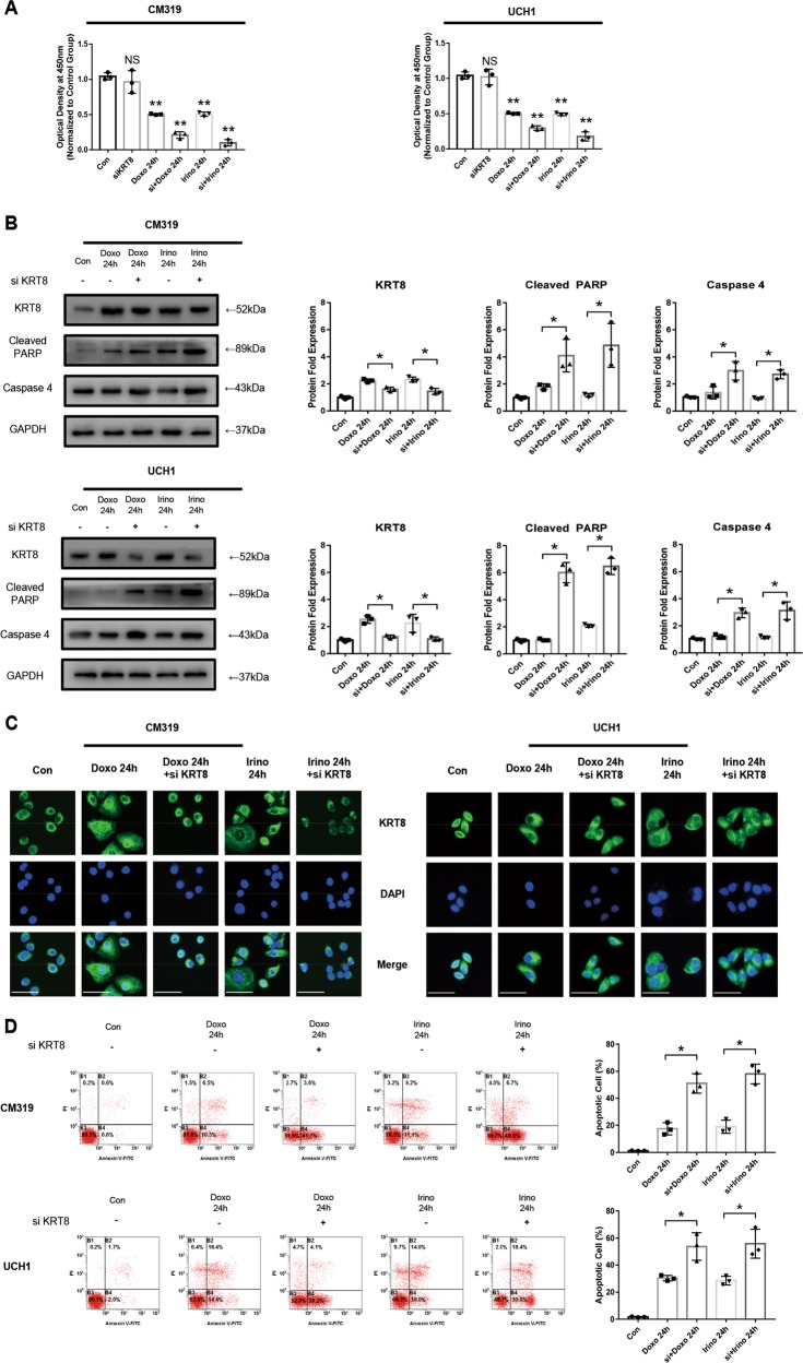 "Knockdown of KRT8 in chordoma cell increased its' sensitivity to chemotherapy by promoting its apoptosis in vitro. Chordoma cell line CM319 and UCH1 were transfected with siKRT8 followed by treatment of doxorubicin (0.5 μM) or irinotecan (50 μM) for 24 h. a Cell viability of chordoma cells were determined by CCK8 assay. b Western blotting analysis and quantification of KRT8, cleaved PARP, and Caspase 4 protein expression (normalized to GAPDH expression, quantification data of KRT8 in the ""Doxo 24 h"" group and ""Irino 24h"" group were derived from the same data set in Fig. 1b ). c Immunofluorescence staining of KRT8 of CM319 and UCH1 cell line. d Apoptosis of chordoma cells was determined by Annexin V-PE/PI staining measured by flow cytometry ( n = 3, * p"