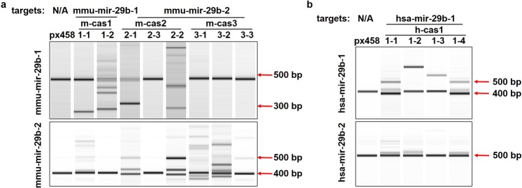 gRNA mediated cleavage reveals mir-29b-1 as the main source of mature miR-29b. ( a ) Surveyor assay detecting the mutations on miR-29b gene locus. mmu-mir-29b-1 was shown to have mutations in cas1-1, cas1-2, cas2-1 and cas2-2; mmu-mir-29b-2 displayed mutations in cas2-1, cas2-2, cas3-1, cas3-2 and cas3-3. ( b ) Surveyor assay showed mutations on hsa-mir-29b-1 and hsa-mir-29b-2 sequences in clone cas1-1, cas1-2, cas1-3 and cas1-4. Surveyor assay products were visualized on Bioanalyser equipment using <t>DNA</t> 1000 chip. Full-length Bioanalyser images for ( a , b ) are presented in Supplementary Fig. 5 .