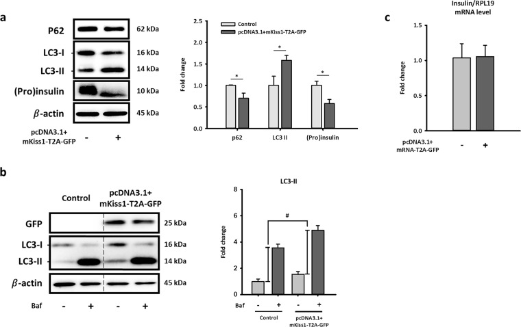 Long-term exposure of kisspeptin decreases (pro)insulin protein level and activates autophagy in NIT-1 cells. Representative blots ( a ) and mRNA levels of insulin ( c ) in NIT-1 cells after transfecting pcDNA3.1 + mKiss1-T2A-GFP for 72 h. Quantifications of blots and mRNA normalized by β-actin or RPL19 are shown as the means ± standard errors of the mean (n = 3). ( b ) Representative blots of autophagy flux marker in cultured NIT-1 cells after overexpressing Kiss1 with/without treating with bafilomycin A1 (20 nM, 3 h). Quantifications of LC3-II normalized by β-actin are shown as the means ± standard errors of the mean (n = 3), which represents autophagy flux. *Compared with level of the control; * p