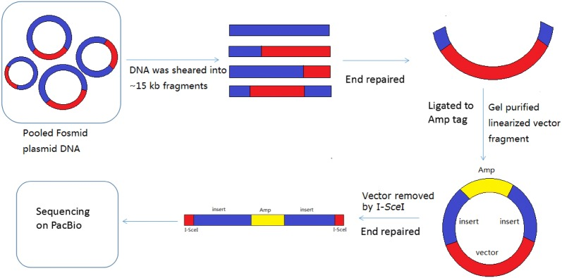 The pipeline of Fosmid-size long paired-end library construction. The red area represents the vector, the blue area represents the large inserted genomic fragment, and the yellow area represents the Ampicillin resistance gene tag. The Fosmid clones were pooled together, and DNA was extracted for paired-end library construction. Pooled Fosmid plasmid DNA was sheared into ~ 15 kb fragments by g-TUBE (Covaris). It generated insert only, vector with single-ends and vector with paired-ends. Then, these DNA fragments were end repaired and gel purified for ligation with the Ampicillin resistance gene tag. Although all fragments could be ligated to the Ampicillin resistance gene tag, only those containing the chloramphenicol resistant gene and ori V ligated to an Amp tag were screened out with double resistance to chloramphenicol and ampicillin after transformation. Finally, the vector was removed by I-SceI and the paired-end fragments with the Amp tag were sequenced on PacBio