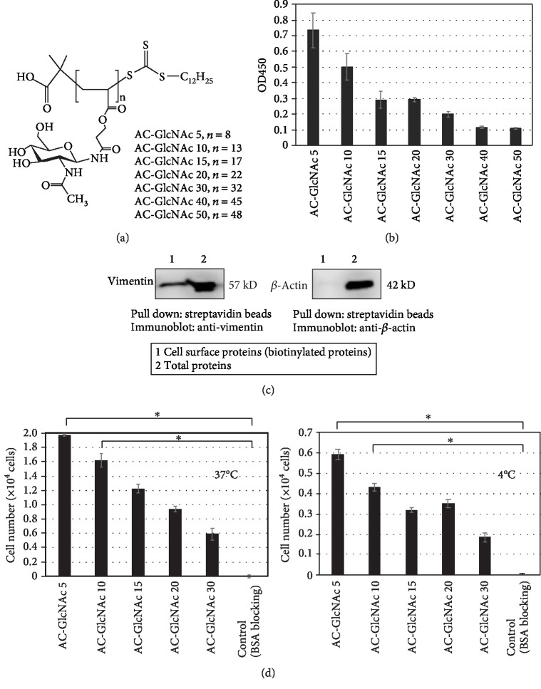 Evaluation of AC-GlcNAc coatings. (a) Structure of AC-GlcNAc. (b) Evaluation of AC-GlcNAc coating on polystyrene dishes using the interaction between biotinylated sWGA and AC-GlcNAc. The amount of biotinylated sWGA on dishes was measured by HRP-neutravidin and TMB solution (absorbance at 450 nm). (c) Western blots demonstrating expression of cell-surface vimentin in human immortalized MSCs. (d) UE7T-13 adherence to AC-GlcNAc-coated dishes at 37 (left) and 4°C (right). ∗ P