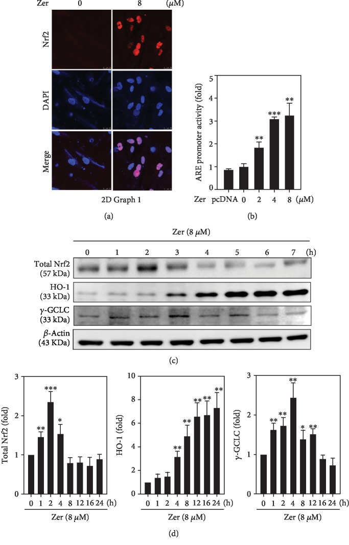 Effect of ZER on ARE promoter activation and subsequent expression of HO-1 and γ -GCLC proteins in HSF cells. (a) Cells were treated with ZER (8 μ M for 2 h) and subcellular localization of Nrf2 was determined using immunostaining method. (b) HSF cells were cotransfected with pGL3-ARE and treated with various concentrations of ZER (2-8 μ M for 2 h) to measure the percentage of ARE promoter activity. Data was presented as fold over increase in the percentage of ARE promoter activity. (c, d) The effect of ZER treatment (8 μ M) on the expression of total Nrf2 and antioxidant proteins (HO-1 and γ -GCLC) at different time points (0, 1, 2, 4, 8, 12, 16, or 24 h) was measured using western blot method against β -actin as an internal control. Results from three or more experiments were presented as mean ± SD, and the statistical significance was considered as ∗ p