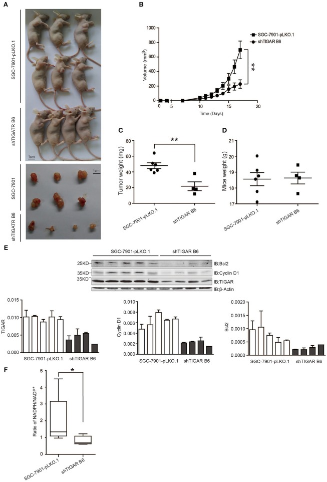 TIGAR promotes tumorigenesis in nude mice. (A,B) A xenograft nude mouse model to evaluate the effects of TIGAR in vivo . TIGAR knockdown tumors were smaller in size than the control tumors. (C) Comparison of tumor weight. TIGAR knockdown tumors had less weight compared to controls. (D) Comparison of mouse weight. There is no significant difference between the two groups. (E) Western blot to detect the expression of Bcl2, cyclin D1, and TIGAR. TIGAR knockdown significantly decreased the expression levels of cyclinD1 and bcl-2 in vivo . (F) NADPH /NADP + assay to detect alterations of NADPH/NADP + in xenograft tumors. TIGAR knockdown significantly reduced the NADPH/NADP + ratios in vivo . * p