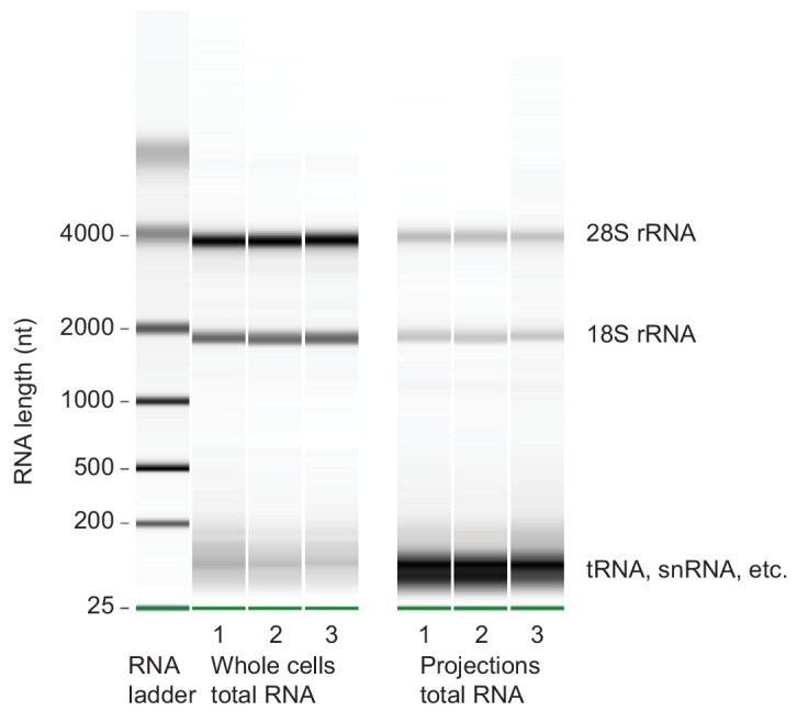 Microcapillary electrophoresis of total <t>RNA</t> from whole cells and projections. Microcapillary electrophoresis of total RNA (Bioanalyzer RNA pico assay) from whole cells and projections of <t>three</t> biological replicates. Only RNAs > ~150 nt were sequenced for this study. In projections, the band at ~100 nt was striking. By sequencing RNAs within 20–150 nt size range, we found that they were mostly full length and fragmented tRNAs (unpublished data).