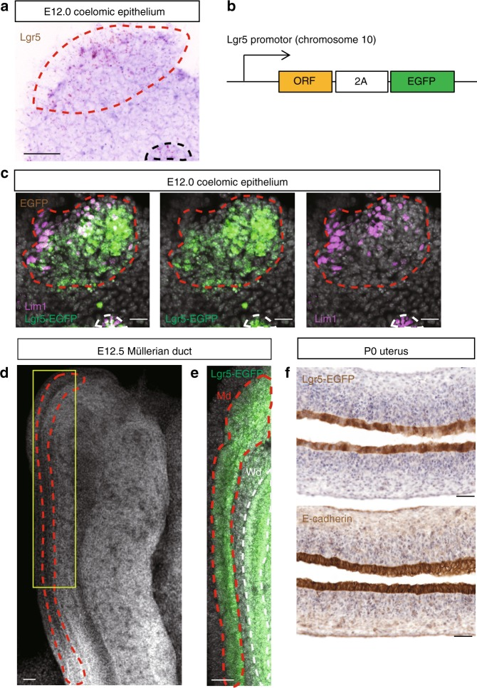 Lgr5 is expressed in the early female reproductive tract during embryogenesis. a RNA ISH for Lgr5 in coelomic epithelium at E12.0. b The Lgr5-2A-EGFP mouse model employed to evaluate endogenous Lgr5 expression. c Co-IF for Lgr5-EGFP and <t>Lim1</t> in coelomic epithelium at E12.0. d Confocal z-stack image of a whole-mount E12.5 Müllerian duct (highlighted by the red dashed line). Yellow box indicates the region magnified in e . e Endogenous EGFP fluorescence in E12.5 Lgr5-2A-EGFP mouse at Md. f Immunostaining for Lgr5-EGFP and E-cadherin in P0 uterus. Dashed red lines indicate Md, and dashed black or white lines indicate Wd, respectively. Md, Müllerian duct; Wd, Wolffian duct; Scale bars, 50 μm. All images are representative of three independent mice.