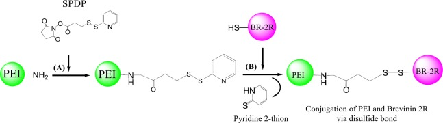 Schematic synthesis of brevinin 2R (BR-2R)-linked polyethylenimine (PEI) by SPDP conjugation method