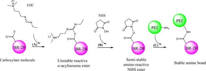 Schematic synthesis of brevinin 2R (BR-2R)-linked <t>polyethylenimine</t> (PEI) by EDC/NHS conjugation method