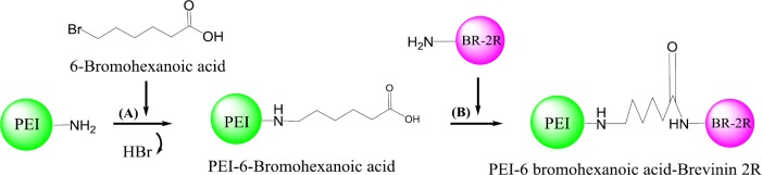 Schematic synthesis of brevinin 2R (BR-2R)-linked polyethylenimine (PEI) by 6-bromohexanoic acid linker