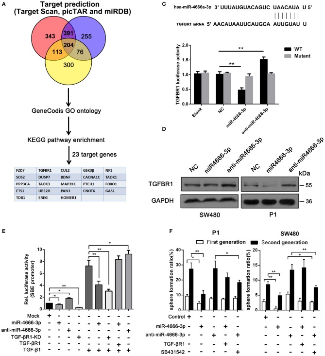 miR-4666-3p targets TGFBR1 in CRC cells. (A) Bioinformatics analysis of potential targets of miR-4666-3p; (B) TGFBR1 is predicted to be a novel target of miR-4666-3p; (C) 293T cells were <t>cotransfected</t> with empty pmirGLO Dual-Luciferase reporter plasmids or TGFBR1 3′UTR firefly luciferase reporter plasmids and <t>pRL-TK-luciferase</t> plasmids, together with the miR-329 or anti-miR-4666-3p mimic. After 48 h, firefly luciferase activity was measured and normalized to that of Renilla luciferase; (D) CRC cells were transfected with the NC, miR-4666-3p or anti-miR-4666-3p mimics, and expression of TGFBR1 was detected by Western blotting; (E) The activity of the TGF-β/Smad pathway was measured by the SBE luciferase reporter system in colon cancer cells (presented as P1 cells) with distinct treatment combination; (F) Serial sphere formation with different cells (control, miR-4666-3p, anti-miR-4666-3p stable expression and both miR-4666-3p and TGF-βR1 stable expression cells). The data are shown as one typical result from three independent experiments with similar results or as the mean ± SD of three independent experiments. * P