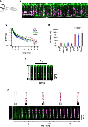 Analysis of yeast cohesin on DNA curtains. ( A ) Schematic representation of double-tethered DNA curtains used in the study. ( B ) Image of cohesin tagged with quantum dots (magenta) bound to λ-DNA stained with YOYO-1 (green). Scale bar, 10 μm. ( C ) Survival probability plots of cohesin in the presence of ATP, ADP, ATPγS, or no nucleotide. ( D ) Lifetimes of cohesin (fast phase and slow phase) in the presence or absence of Scc2-Scc4 and different ATP analogs. Error bars are 68% confidence intervals from bootstrapping. ( E ) Image of a pair of double-tethered DNA curtains bound by cohesin. DNA molecules are in green, and cohesin is in magenta. Diagrammatic representation is shown (left). ( F ) Time-lapse images of a pair of double-tethered DNA curtains bound by cohesin as they are tethered. DNA molecules are in green, and cohesin is in magenta. Diagrammatic representation is shown (top). Pairing events were observed frequently in the DNA curtains. An average of 5 to 10 events per DNA curtain was detected.