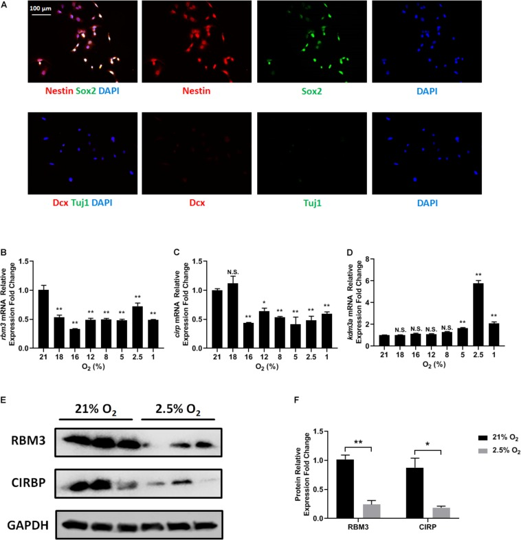 Oxygen-sensitive gene expression in NSCs upon hypoxic exposure. (A) Representative Nestin/Sox2 and Dcx/Tuj1 double stainings of C17.2 cells cultured in standard condition with 21% O 2 ; nuclei were counterstained with DAPI. (B–D) mRNA expression of rbm3 (B) , cirp (C) , and kdm3a (D) was measured 16 h after ambient normoxic (21% O 2 ) or indicated hypoxic treatment. Actb was used as an internal control. One-way ANOVA followed by Dunnett's test was used to compare each hypoxic condition to the normoxic group. N.S. not significant; ∗ p