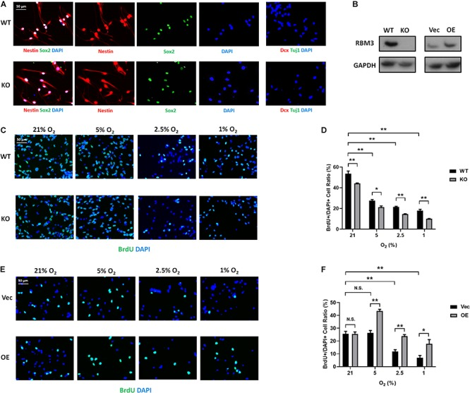 RBM3 positively regulates proliferation in primary NSC from the SGZ of adult mice under hypoxia. (A) Representative Nestin/Sox2 and Dcx/Tuj1 double staining of primary RBM3 WT and KO NSCs from the SGZ of adult mice. Nuclei were counterstained with DAPI. (B) RBM3 protein expression in RBM3 WT and KO primary NSCs, and vector transfected WT NSCs from the SGZ of adult mice. Vec: empty vector; OE: RBM3-overexpressing vector. (C) Representative BrdU and DAPI staining of SGZ-derived adult WT or KO NSCs after 24 h 21, 5, 2.5, or 1% O 2 treatment. (D) Two-way ANOVA followed by Tukey's test was used for the comparisons in panel (C) . ∗ p