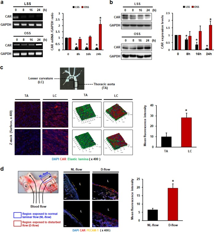 Fluid shear stress regulates CAR expression in endothelial cells. HUVECs were cultured under static, LSS, or OSS conditions for the indicated periods of time. a Levels of mRNAs encoding CAR and GAPDH (internal control) were determined by RT-PCR. b CAR protein levels were measured by western blotting. Representative images are shown ( n = 5; compared with static conditions, * P