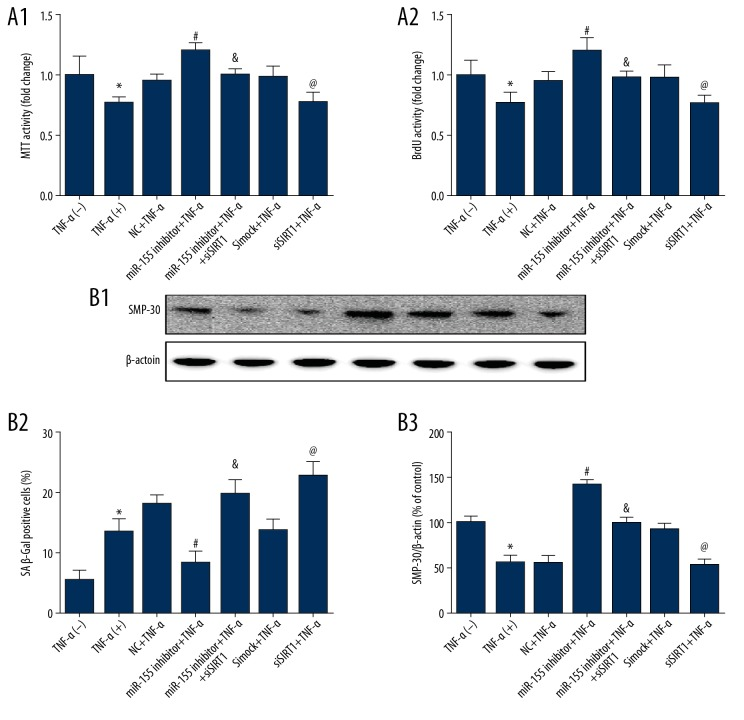 miR-155 regulated proliferation and senescence through the SIRT1/FoxO-1/P53/P21-dependent pathway. ( A ) The proliferation effects of miR-155 downregulation were mostly abolished after SIRT1 knockdown. ( B ) SA β-Gal activity and Western blot analysis of SMP-30 protein levels in HUVECs after miR-155 knockdown. (n=3, * p