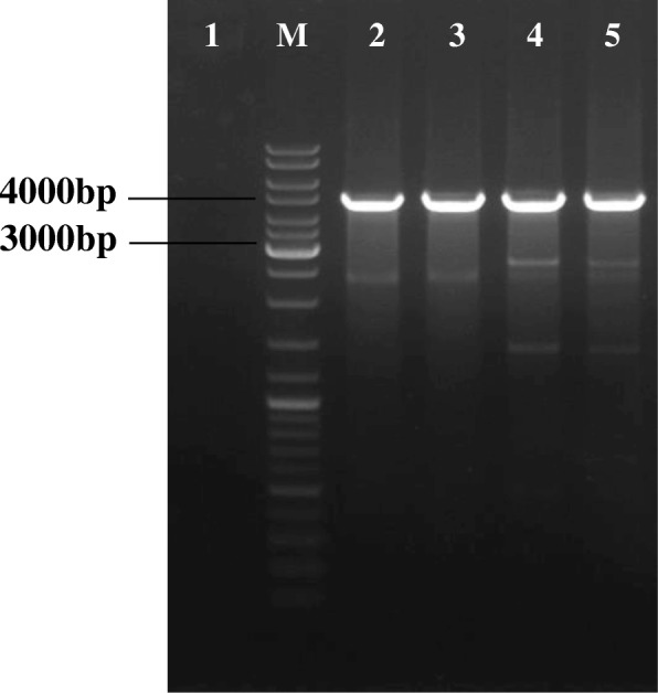 Gel electrophoresis of PCR verification using attB flanking primers of integrated surface displayed integrative plasmids in the L. lactis genome. M) Generuler DNA ladder mix, 1) negative control, 2) pSD1nuc, 3) pSD2nuc, 4) pSD3nuc, and 5) pSD4nuc