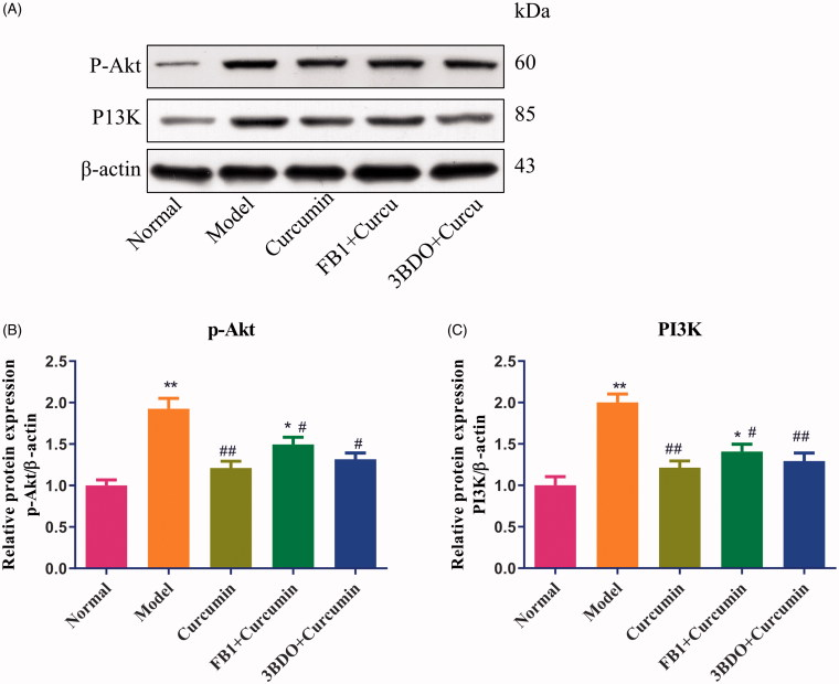 Effect of curcumin on PI3K and p-Akt proteins in MPC5 cells. (A) EMT-induced MPC5 cells were established and cultured in curcumin with or with fumonisin B1 or 3BDO. The levels of PI3K and p-Akt proteins from renal tissues were detected by Western blot and normalized to β-actin and then (B–C) relative band intensities were used in order to quantify PI3K and p-Akt proteins. * p