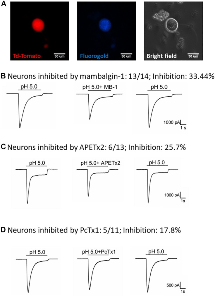 Effect of amiloride, mambalgin-1, APETx2 and PcTx1 on ASIC1b-expressing muscle afferent DRG neurons. (A) Whole-cell patch clamp recording on an ASIC1b-expressing DRG neuron projecting to gastrocnemius muscle labeled by fluorogold. (B) Mambalgin-1 (MB-1) (1 μM) inhibited acid (pH 5.0)-induced currents in 13 of 14 ASIC1b-expressing muscle afferent DRG neurons. (C) APETx2 (1 μM) inhibited acid (pH 5.0)-induced currents in 6 of 13 ASIC1b-expressing muscle afferent DRG neurons. (D) PcTx1 (100 nM) inhibited acid (pH 5.0)-induced currents in 5 of 11 ASIC1b-expressing muscle afferent DRG neurons.