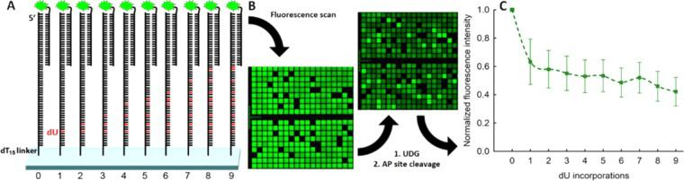 ( A ) Sequence design for the investigation of uracil and abasic site cleavage on microarrays. Each sequence consists of a dT 15 -linker, then a 30mer with either no dUs (control) or an increasing number of dU-incorporations (from 1 to 9) replacing dTs in the following sequence: 5′-TTA CCA TAG AAT CAT GTG CCA TAC ATC ATC-3′. At the 5′-end, a control 25mer is synthesized (QC25), serving as target for the hybridization to its 3′-Cy3-labelled complementary oligonucleotide (QC25c). The cleavage process was monitored by recording the hybridization-based fluorescence intensity before and after the UDG-mediated cleavage of uracil nucleotides. ( B ) Small excerpt (ca. 7% of the total synthesis area) of fluorescence scans before and after enzyme exposure. The scans show the fluorescence intensity, resulting from hybridization to a labelled, complementary oligonucleotide. The microarrays were scanned at 5 µm resolution. ( C ) Decrease in fluorescence intensity for the UDG-mediated uracil excision (thus generating abasic sites) as a function of the number of dU nucleotide incorporations per DNA substrate. The actual cleavage efficiencies correlate with the loss of fluorescence intensity resulting from DNA substrate cleavage. The array was incubated for one hour with UDG and the generated abasic sites were subsequently cleaved under alkaline conditions. The decrease in fluorescence intensity was recorded and normalized to the control strand (U0). The normalized intensities, indicated in arbitrary units, were plotted over the number of dUs per DNA substrate. Error bars are SD.