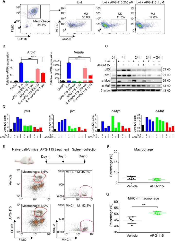 APG-115 suppresses alternative M2 macrophages polarization in vitro and increases M1 macrophages in vivo through activation of p53 pathway. a BMDMs were generated under the treatment with m-CSF for 7 days and then treated with IL-4 (20 ng/mL) to induce alternative macrophage polarization (M2) for 24 h in the absence or presence of APG-115. Cells were then harvested for detection of M2 macrophages (CD206 + MHC-II low ) by flow cytometry. b the mRNA expression levels of Arg-1 and Retnla in the above BMDMs induced by the treatment with IL-4 (20 ng/mL) with or without APG-115 were analyzed by RT-qPCR. Duplicated samples were tested. c Western blot analysis of p53, p21, c-Myc and c-Maf total proteins in BMDMs treated with IL-4 (20 ng/mL) with or without APG-115 (1 μM) for 0, 4, or 24 h, or sequentially treated with IL-4 and then APG-115 for 24 h each (24 h + 24 h). d Quantification of C. 0 (black bars), 4 (blue bars), or 24 h (green bars), or sequentially treated with each agent for 24 h (24 h + 24 h, red bars). e naïve BALB/c mice were treated with APG-115 (10 mg/kg, Q2D × 2 doses; n = 5). Two days after the last dose, spleens were collected, dissociated into single-cell suspensions, and stained with macrophage markers for flow cytometry analysis. Macrophages were defined as CD11b + F4/80 hi , and further analyzed for M1 macrophages by expression of MHC-II. Pooled data of percentages of macrophages gated on CD45 + CD3 − live cells ( f ) and percentages of M1 macrophages gated on macrophages ( g ) from five mice were plotted