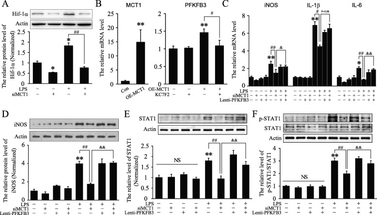 Overexpression of PFKFB3 rescued MCT1 silence-induced suppression of classical microglial polarization in BV2 cells. a Representative immunoblots and relative quantification of Hif-1α in each group ( n = 4 per group and errors represent S.E.M). b The overexpression efficiency of Lenti-MCT1 and quantification of the mRNA level of PFKFB3 in each group ( n = 4 per group). KC7F2, an inhibitor of Hif-1α, 30 mM. c , Quantification of the mRNA level of iNOS , IL-1β , and IL-6 after treatment with Lenti-siMCT1 and Lenti-PFKFB3 with or without LPS ( n = 6–9 per group). d , e Representative immunoblots and relative quantification of iNOS and STAT1 protein, respectively, 24 h after LPS stimulation in each group ( n = 6 per group). f Representative immunoblots and relative quantification of STAT1 and p-STAT1 after stimulation with LPS for 3 h in each group ( n = 5–6 per group). * p , # p , and p