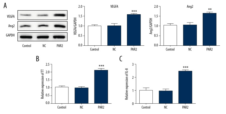 The potential mechanisms for the effects of PAR2. ( A ) Expression of VEGFA and <t>Angiopoietin</t> 2 (Ang2) were estimated by western blotting. Production of tissue factor (TF) ( B ) and IL-8 ( C ) were analyzed by ELISA. *** P
