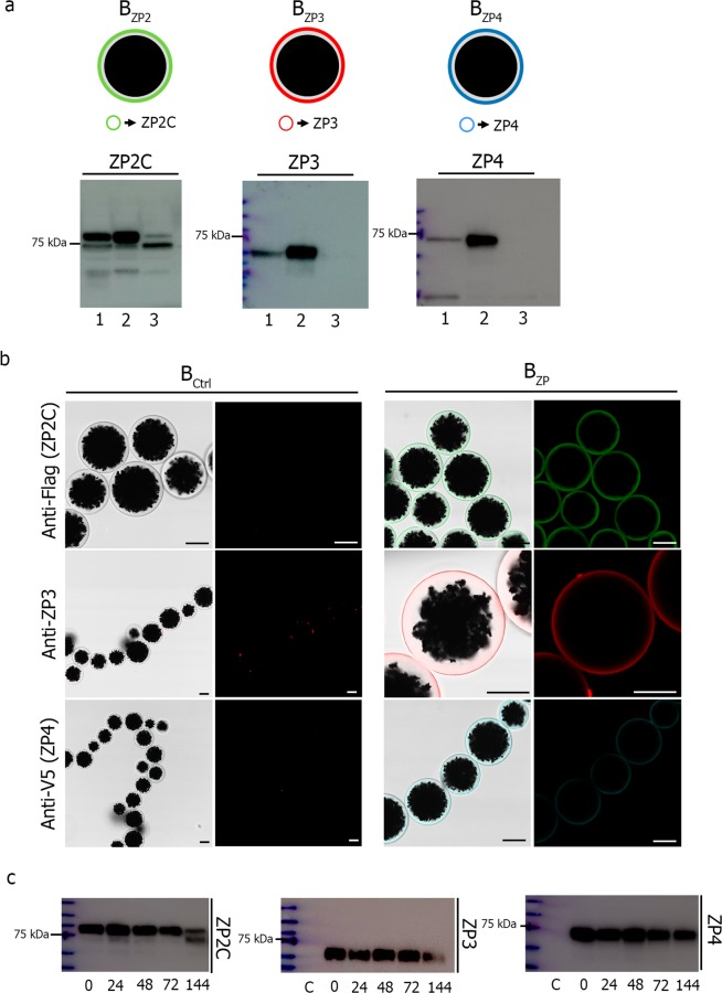 Conjugation of ZP recombinant proteins to sepharose magnetic beads. ( a ) Schematic representation of ZP recombinant proteins coated beads (B ZP2, B ZP3 and B ZP4 ) (upper). SDS-PAGE and western blot of ZP2C, ZP3 and ZP4 proteins conjugated to magnetic beads (lower). Medium with secreted proteins before conjugation (lane 1), in the eluted fraction (lane 2), and media after conjugation (lane 3). Anti-Flag antibody was used for ZP2, anti-ZP3 for ZP3 and V5 Epitope Tag antibody for ZP4. ( b ) Confocal microscopy images of beads alone (B Ctrl ) (left) and conjugated beads (B ZP ) (right) showing uniform coating of beads with ZP proteins. Scale bar, 40 μm. ( c) SDS-PAGE and western blot of ZP2C, ZP3 and ZP4 proteins conjugated to magnetic beads after conjugation and storage for 0, 24, 48, 72 and 144 h. Lane C, beads incubated with CHO-cell growth medium without recombinant zona proteins.