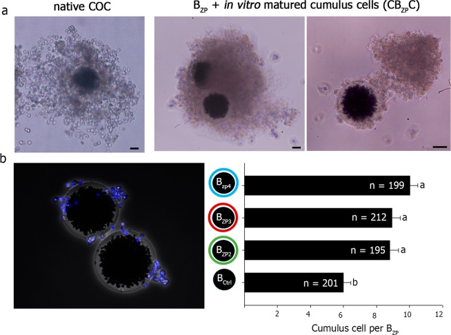 Mimicking the cumulus-oocyte complex (CB ZP C). ( a ) Expanded, native cumulus-oocyte complex (COC) after in vitro maturation. Scale bar, 30 μm (left). ZP-beads after 24 h of incubation with isolated cumulus cells obtained from in vitro matured COCs, cumulus-ZP coated beads complex (CB ZP C). Scale bar, 30 µm. The cells adhere to the bead surface resembling a native COC with two external coats, cumulus cells and ZP proteins (middle, right). ( b ) Quantification of the number of cells adhered to the ZP coated-bead (B ZP ) stained with 0.01 mM bisbenzimide and mechanically washed (mean ± SEM). No difference in the number of adherent cells was observed among the three zona proteins attached to sepharose beads (B ZP2, B ZP3 , B <t>ZP4</t> ). However, control beads without ZP proteins had fewer cells. Different letters ( a,b ) in the same column indicate differences between groups (P