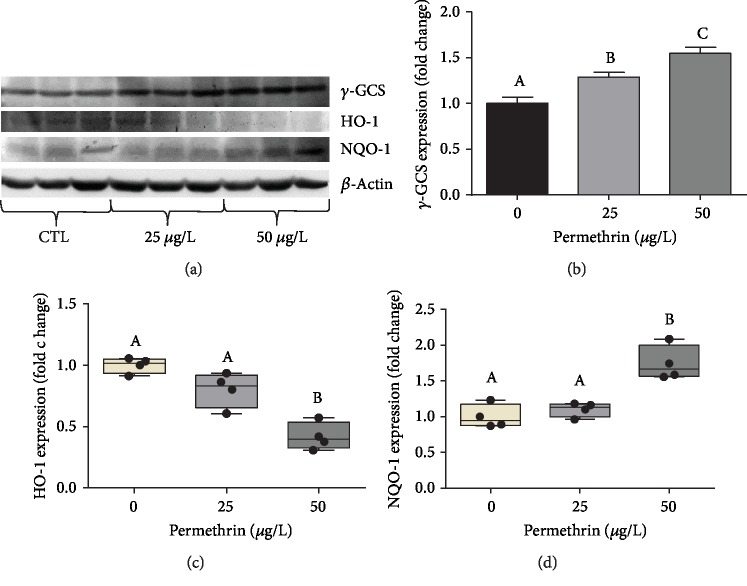 Exposure to permethrin (25 and 50 μ g/L) modules the protein levels of Nrf2-target antioxidant enzymes in zebrafish larvae. (a) Representative immunoblots, and densitometric analysis of immunoreactive bands of (b) γ -GCS (average for the control group = 0.52 γ -GSCs/ β -actin ratio), (c) HO-1 (average for the control group = 1.3 HO-1/ β -actin ratio), and (d) NQO-1 (average for the control group = 0.63 NQO-1/ β -actin ratio). The parametric dates are expressed as the mean ± SEM and analyzed by one-way ANOVA followed by Tukey as post hoc comparison, and nonparametric dates are expressed as median ± interquartile range, analyzed by Kruskal-Wallis followed by Dunn's multiple comparison test. Groups not sharing letters are significantly different ( p