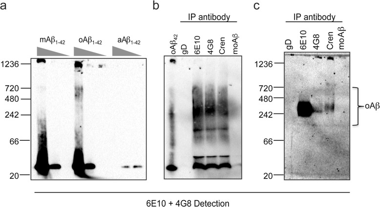 Crenezumab recognizes Aβ oligomers from in vitro and in vivo sources. Pre-formed (m)onomericAβ 42 , (o)ligomericAβ 42 , or (a)ggregatedAβ 42 were run on native PAGE at 1000, 500, and 250 ng per lane to visualize Aβ 42 banding patterns ( a ). Note that aAβ was too large to enter the gel. Antibodies were incubated with pre-formed Aβ 42 oligomers overnight at 4 °C. To visualize nondenatured oligomers, immunoprecipitated (IP) eluates using were run on native PAGE. Crenezumab recognizes both low molecular weight oligomers between 20 and 50 kDa and high molecular weight (HMW) oligomers between 250 and 700 kDa ( b ). Anti-Aβ IPs from the soluble fraction of PS2APP mouse brain homogenates were run on native PAGE. Crenezumab recognizes HMW oligomers ( c ). 6E10 and 4G8 were used as detection antibodies on all blots