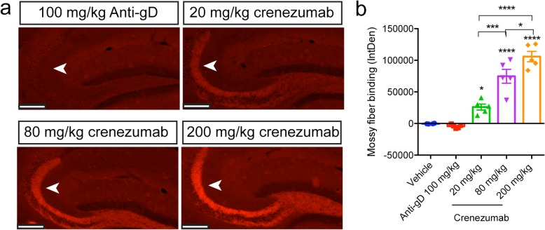 In vivo-dosed crenezumab binds to the mossy fibers in PS2APP mice. In vivo-dosed crenezumab, but not control IgG (anti-gD IgG4), dose-dependently binds to the mossy fiber axons in the hippocampus of PS2APP mice. Representative epifluorescent images of mossy fiber binding by crenezumab in PS2APP mice ( a ). Quantification of mossy fiber binding integrated density (IntDen) found a significant treatment effect ( b ) (ANOVA: F 4,19 = 50.10, p