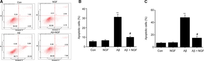 NGF reduced Aβ25–35‐triggered cell apoptosis in SKNSH cells. SKNSH cells received preliminary supplementation with NGF (100 ng·mL −1 ) for 24 h prior to a 24‐h treatment with Aβ25–35 (25 μ m ). (A) Representative apoptosis depicted by FC. (B, C) Quantification of cell apoptosis in SKNSH cells (B) and primary neurons (C). Results are expressed as mean ± SEM for three independent experiments. One‐way ANOVA, ** P
