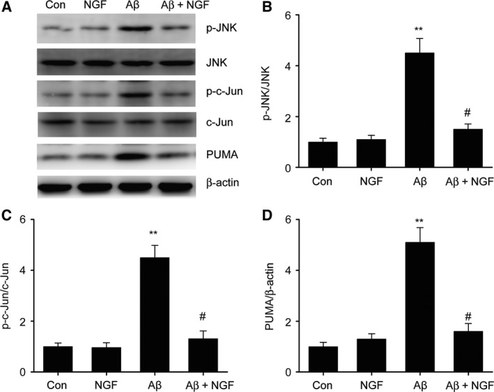 NGF suppressed Aβ25–35‐triggered JNK/c‐Jun activation in SKNSH cells. SKNSH cells received preliminary supplementation with NGF (100 ng·mL −1 ) for 24 h prior to 24‐h stimulation with Aβ25–35 (25 μ m ). (A–D) Representative immunoblots (A) and quantitative evaluation of p‐JNK (B), p‐c‐Jun (C), and PUMA (D) in SKNSH cells. Results are expressed as mean ± SEM for three independent experiments. One‐way ANOVA, ** P