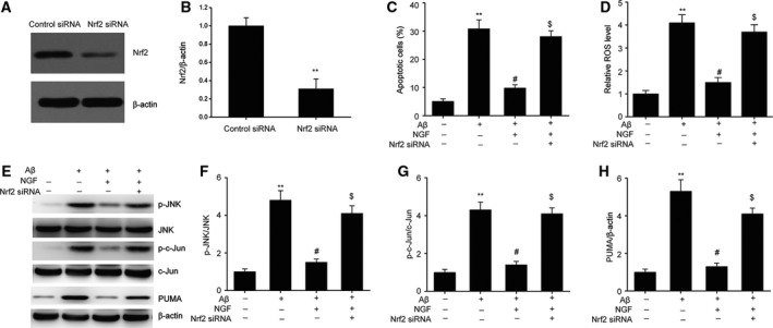 Nrf2/HO‐1 mediated defensive influence of NGF against apoptosis triggered by Aβ25–35 in SKNSH cells. Twenty‐four‐hour transfection of SKNSH cells was carried out with Nrf2 siRNA and subsequently supplemented with Aβ25–35 or Aβ25–35 + NGF for 24 h. (A, B) Representative immunoblots (A) and quantitative evaluation of Nrf2 (B) in SKNSH cells. (C) FC was used for the assessment of cell death. (D) Intracellular ROS was evaluated via the oxidation of H2DCFDA to DCF. (E–H) Representative immunoblots (E) and quantitative evaluation of p‐JNK (F), p‐c‐Jun (G), and PUMA (H) in SKNSH cells. Results are expressed as mean ± SEM for three independent experiments. Two‐way ANOVA, ** P