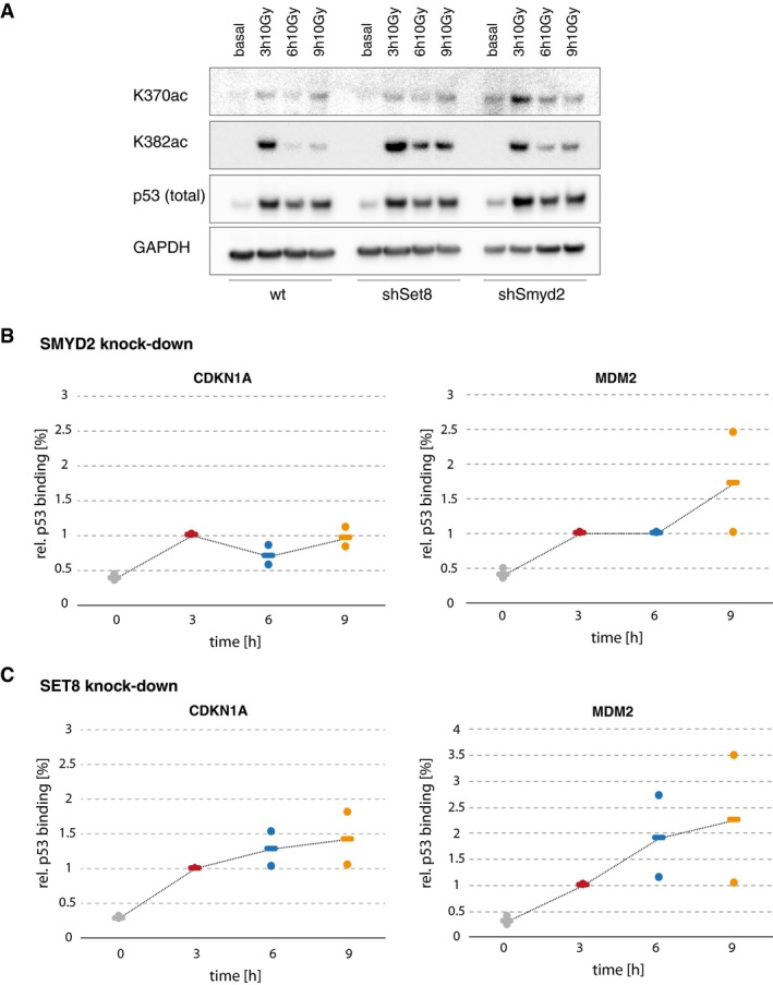 Smyd2 and Set8 activities affect p53 nuclear dynamics and promoter binding Western blot of acetylated p53 (K370/K382) in A549 Smyd2 and Set8 knockdown cells compared to wild‐type cell lines shows an increase in acetylation specifically at later time points in the DNA damage response. Dynamics of total p53 remained pulse like. GAPDH is shown as loading control. Amount of p53 bound to CDKN1A and MDM2 promoters in A549 Smyd2 (B) and Set8 (C) knockdown cells before (basal, gray) and 3 h (red), 6 h (blue), and 9 h (orange) after DNA damage (10 Gy IR) as measured by ChIP. The amount of bound p53 was calculated as percentage of input and normalized to the time point of the first p53 peak at 3 h. Individual data points (mean values of triplicate quantification in qRT–PCR measurements) from two biological repeats are shown as dots; mean values are displayed as black horizontal lines. Dashed lines serve as guide to the eyes. We observed an increase in promoter binding at later time points similar to the results after Nutlin‐3 treatment.