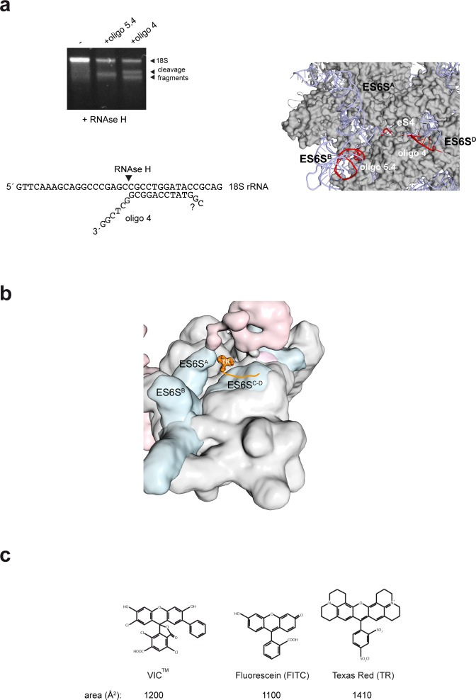 Mapping and modeling of the oligo 4 bound to 48S-PIC. ( a ) Mapping oligo 4–18S pairing. RNAse H assay showing the cleavage fragments that are generated upon binding of oligo 4 and 5.4 to 40S subunits. It was determined that the last 6 nt of the 3′ end of VIC-oligo4 remained unpaired, but we could not determine whether the last two 5′ nt of oligo 4 were paired or not (lower panel). The target sequences for oligo 4 and 5.4 in the ES6S D and ES6S B helices, respectively, are marked in red (right panel). Note that in this human model of 40S, ES6S A is in the 'outward' conformation. ( b ) Model of TR–oligo 4 bound to PIC. The fluorophore is located between the ES6S A and ES6S D helices; note that in this model, ES6S A is in the 'inward' conformation. ( c ) Molecular structures of the IC, FITC and TR fluorophores.