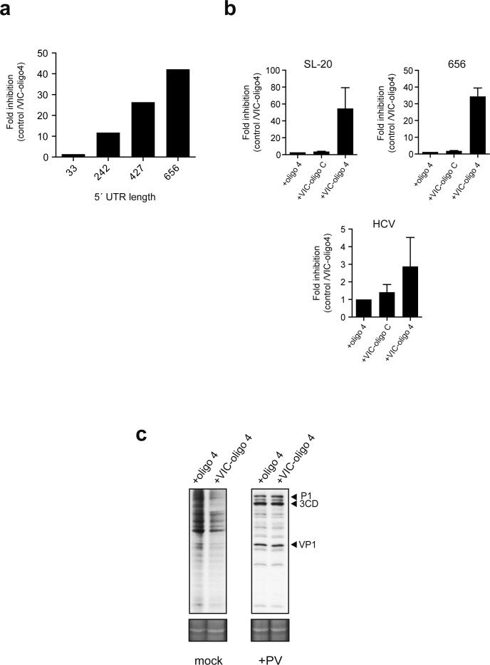 Effect of 5' UTR length of luc mRNAs on the sensitivity to VIC-oligo 4-mediated translational block. ( a ) Effect of 5′ UTR length on cap-dependent translation ofluc mRNAs in the presence of VIC-oligo 4. Data are the mean of two independent experiments performed in MEF cells as described in Figure 4a . ( b ) Comparative analysis of the effect of oligo 4, VIC–oligo C and VIC–oligo 4 on the translation of the indicated mRNAs. Data are the mean ± SD from at least four independent experiments in MEF cells. ( c ) Effect of VIC–oligo 4 on the translation of poliovirus (PV) mRNA. HeLa cells were transfected with the indicated oligonucleotides, and infected 12 hr later with PV1 (Mahoney strain) at a multiplicity of infection (MOI) of 10 pfu/cell. The cultures were metabolically labeled with [ 35 S]-Met at 6 hr post-infection and analyzed as described in the Materials and methods; SYPRO staining was included as the loading control.