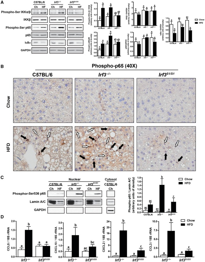 HFD feeding increased the translocation to the nucleus of p65 and expression of NFκB‐related genes in Irf3 −/− mice. Male C57BL/6, Irf3 −/− , and Irf3 S1/S1 mice were fed an HFD or chow for 12 weeks. (A) Expressions of phospho‐IKKα∕β, IKKβ, phospho‐p65, p65, and IκBα were assessed by western blot and normalized to GAPDH, n = 4 per genotype. (B) Formalin‐fixed paraffin‐embedded sections of liver were deparaffinized, and localization of phospho‐p65 was assessed by immunohistochemistry. Images were acquired at 40×. White arrows indicate nonparenchymal cells, and black arrows indicate hepatocytes. Images are representative of triplicate images from eight mice per treatment group. Values represent means ± SEM. (C) Nuclear fractions were isolated from livers, and equal amounts of protein were assessed by western blot and probed against phosphor‐Ser 536 p65‐NFκB. Lamin A/C was used as a nuclei marker, and GAPDH was used as a cytosolic marker. (D) Expressions of CCL5, CXCL10, CXCL2, and CCL3 were analyzed by qRT‐PCR. Values were normalized to 18S and are shown as fold increase over the chow‐fed C57BL/6 control group, n = 12 per genotype. Values with different superscripts are significantly different from each other, P