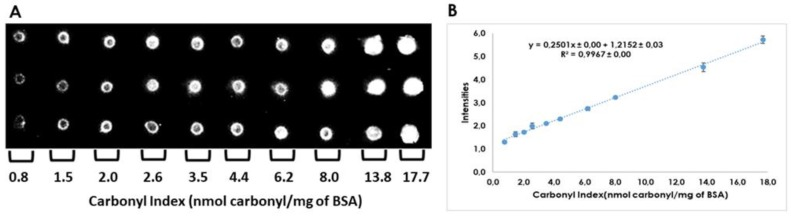 Calibration curve of carbonylated proteins for quantitation of carbonyl indexes by dot-blot. ( A ). 2 μL of DNPH derivatized bovine serum albumin (BSA; 100 ng/μL) from standard working solutions were spotted by triplicate on PVDF membranes. ( B ). Mean from three calibration curves analyzed in two different days. The calibration curve was derived from reproducibility assay.
