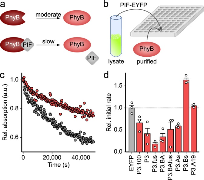 Screening At PIF variants for protein:protein interactions with the At PhyB PCM. a The light-adapted Pfr state (brown) of At PhyB thermally recovers to the dark-adapted Pr state (red) in a moderately paced reaction. When binding to an At PIF variant, the recovery reaction is delayed. b At PIF variants were C-terminally tagged with EYFP, expressed in Escherichia coli , cells were lysed, and At PhyB PCM was added to the crude lysate. Samples were exposed to red light, and the recovery reaction was monitored over time by absorption measurements. c Normalized absorption of the At PhyB PCM measured at 720 nm after red-light absorption in the presence of P3.100 (red) or the EYFP-negative control (gray). d The initial rates of the recovery reaction were determined and normalized to the reading obtained for the EYFP-negative control. Data indicate mean ± SEM of n = 3 independent biological replicates.