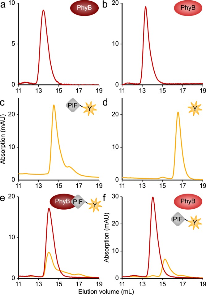 Oligomeric state of the At PIF variants and light-dependent interactions with the At PhyB PCM. a 50 µM At PhyB PCM were exposed to red light and analyzed by size-exclusion chromatography (SEC), where the yellow and red lines represent absorption at 513 and 650 nm, respectively. b As in a but the At PhyB PCM was exposed to far-red light prior to chromatography. c 10 µM P3.100-EYFP were analyzed by SEC. Elution profiles were independent of illumination. d 10 µM of the negative control EYFP were analyzed by SEC. Elution profiles were independent of light. e A mixture of 10 µM P3.100-EYFP and 50 µM At PhyB PCM was exposed to red light and analyzed by SEC. f As in e but samples were illuminated with far-red light, rather than red light. Experiments were repeated twice with similar results.