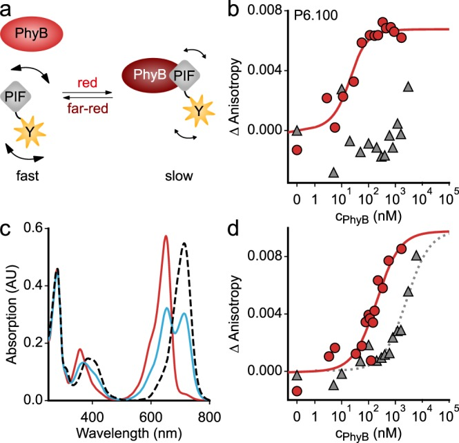 Quantitative analyses of the light-dependent protein:protein interaction between At PIF variants and the At PhyB PCM. a In its Pr state, the At PhyB PCM exhibits weak or no affinity to At PIF, but upon red-light exposure, the affinity is enhanced. Binding to the AtPhyB PCM increases the effective hydrodynamic radius of the At PIF variants and slows down rotational diffusion. In turn, the fluorescence anisotropy of an EYFP tag C-terminally appended to the At PIF increases. b Titration of 20 nM P6.100-EYFP with increasing concentrations of dark-adapted (gray) or red-light-exposed At PhyB PCM (red), as monitored by anisotropy of the EYFP fluorescence. Data points show mean of n = 3 biological replicates. The red line denotes a fit to a single-site-binding isotherm. c Absorption spectra of the At PhyB PCM in its dark-adapted Pr state (red line) and as a Pfr/Pr mixture following red-light exposure (blue). The dashed line denotes the absorption spectrum of the pure Pfr state, calculated according to ref. 42 . d As in b but for P3.100-EYFP rather than P6.100-EYFP. Experiments were repeated twice with similar results.