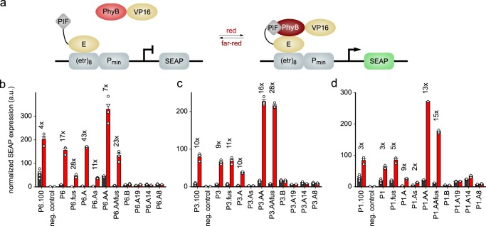 Harnessing the At PIF variants for the light-dependent regulation of gene expression in mammalian cells. a The At <t>PhyB</t> <t>PCM</t> and At PIF variants are connected to a VP16 trans -activating domain and an E-protein DNA-binding domain that binds to a synthetic promoter sequence. Red light promotes association of the At PhyB: At PIF pair and thereby activates the expression of a secreted alkaline phosphatase (SEAP) reporter gene. b SEAP expression was determined in Chinese hamster ovary cells (CHO-K1) for the diverse At PIF6 variants and normalized to the constitutive expression of Gaussia luciferase. Black and red bars denote mean ± SEM normalized SEAP expression for n = 4 independent biological replicates under dark or red-light conditions, respectively. Cells were kept in darkness for 24 h, supplemented with PCB, and then either kept in darkness for 24 h or illuminated for 24 h with 20 µmol m −2 s −1 660-nm light. As a negative control, the reporter construct alone was transfected. The numbers above the bars indicate the factor difference between dark and red-light conditions for a given At PIF6 variant. c As b but for the At PIF3 variants. d As b but for the At PIF1 variants.