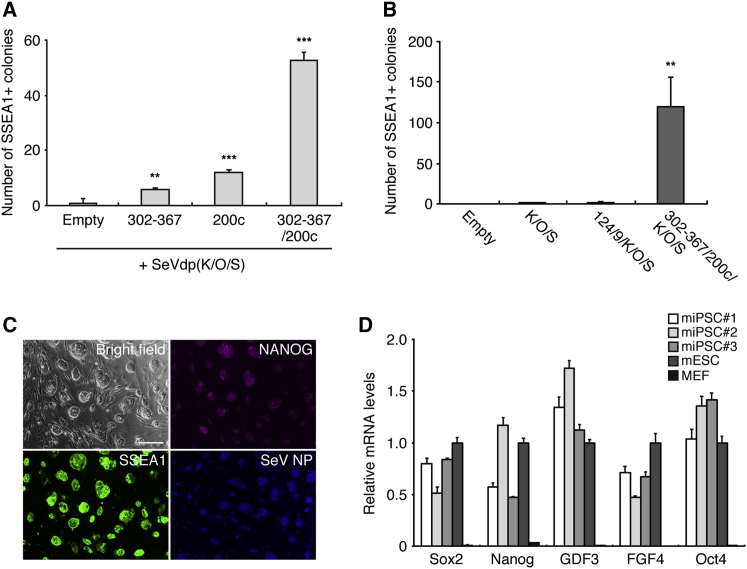 Generation of miPSCs with SeVdp Expressing ESC-Enriched miRNAs (A) Enhanced miPSC colony formation in MEFs co-infected with SeVdp(K/O/S) and SeVdp expressing ESC-enriched miRNA(s). <t>SSEA1+</t> colonies were counted on day 14 after infection. **p